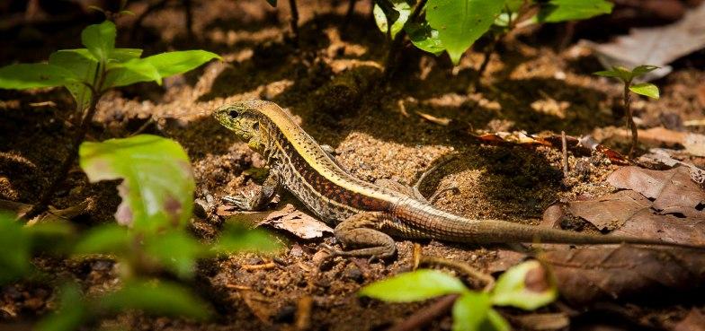 Ameiva Lizard