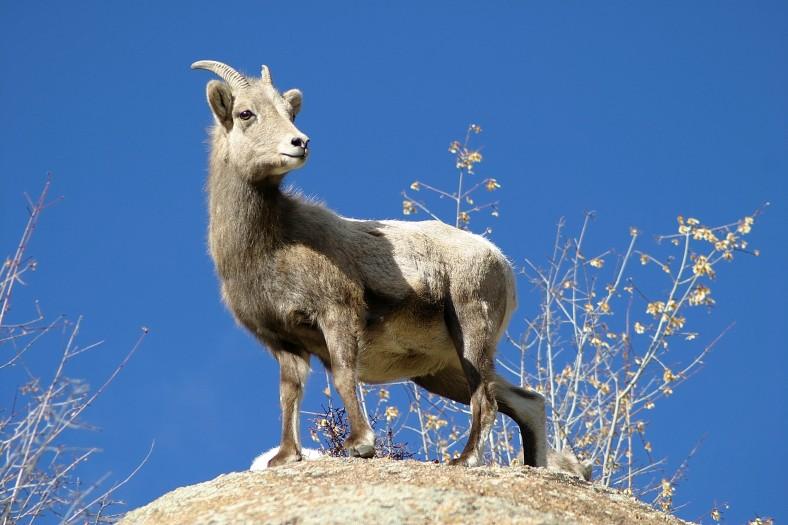 A female bighorn sheep in Estes Park Colorado