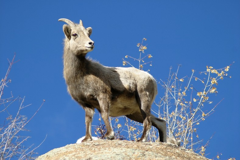 A female bighorn sheep in Estes Park Colorado