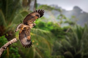 Mangrove Black Hawk taking flight