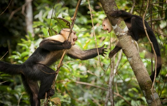 White-faced capuchins having a heated discussion.