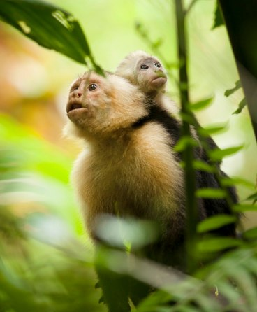 White-faced capuchin mother and child