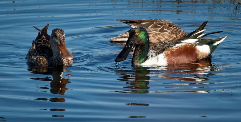 Northern Shoveler & Mottled Ducks