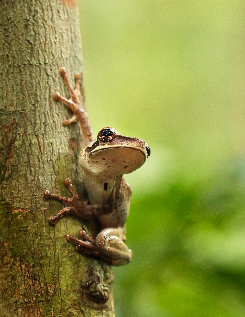 Tree Frog in the Amazon Jungle