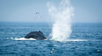 A humpback whale diving.