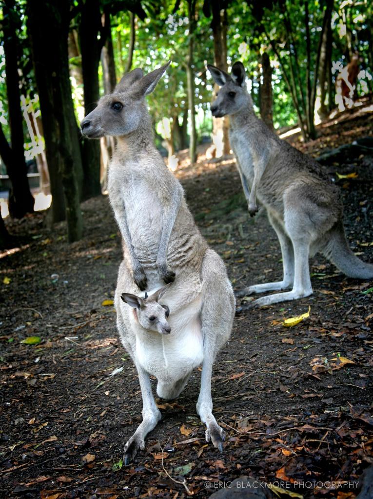 A Kangaroo & Joey