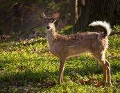 Deer in Mr. Schemrich's backyard