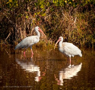 Two Ibis