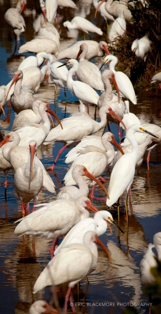 Flock of Ibis and Snowy Egrets