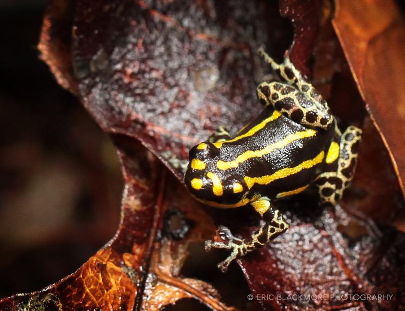 Yellow Poison Dart Frog,  Peru, Amazon Jungle