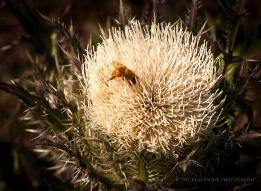 Horrible Thistle (Cirsium horridulum)