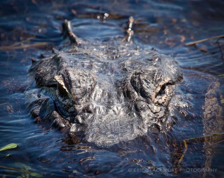 Alligator waiting