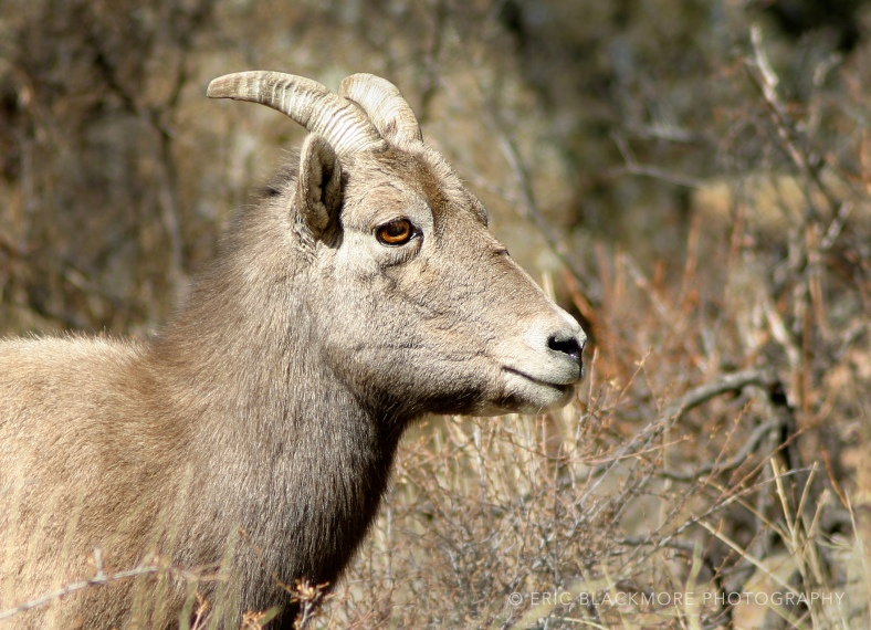 Big Horn Sheep in brush