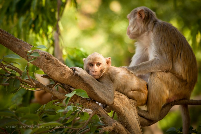 Macaques grooming, Agra, India.