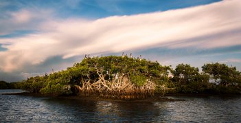 Pelicans in for their evening roost in the 10,000 Islands, western Everglades, Everglades National Park Chokoloskee Island