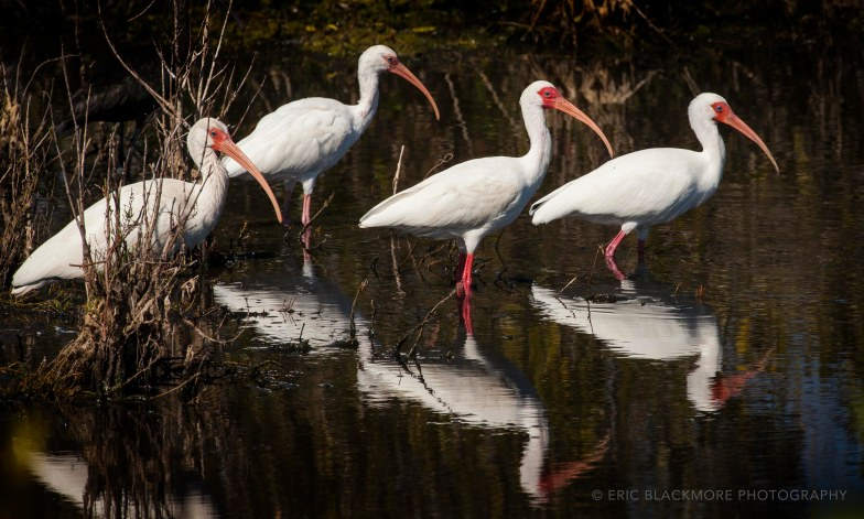 Ibis in water
