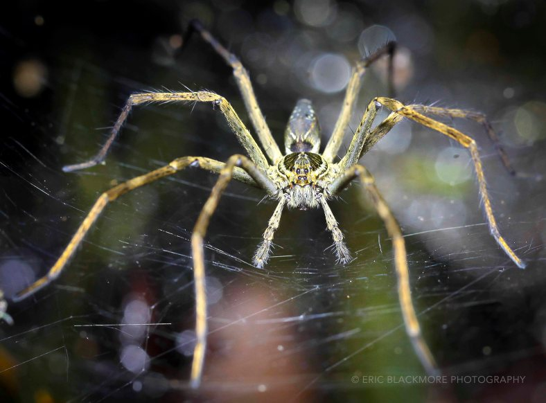 Nursery Web Spider in the Amazon Jungle, Peru