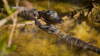Two Juvenile Alligators
