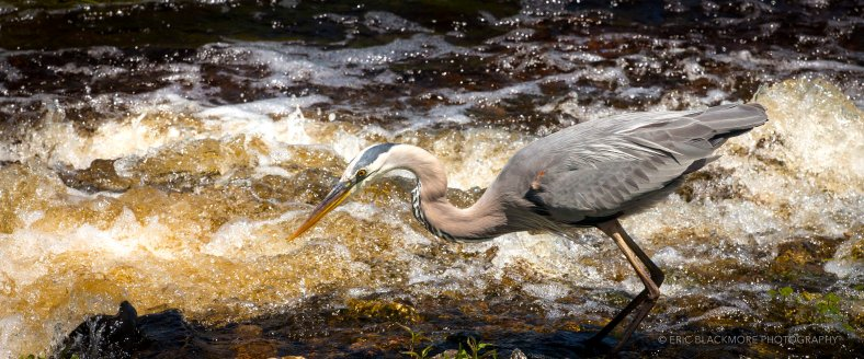 Great Blue Heron fishing in The Orlando Wetlands Park.