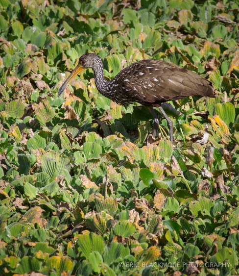 Limpkin Hunting in Water Lettuce