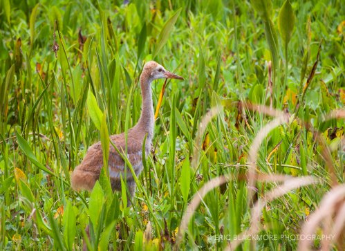 A Young Sandhill Crane also called a Colt