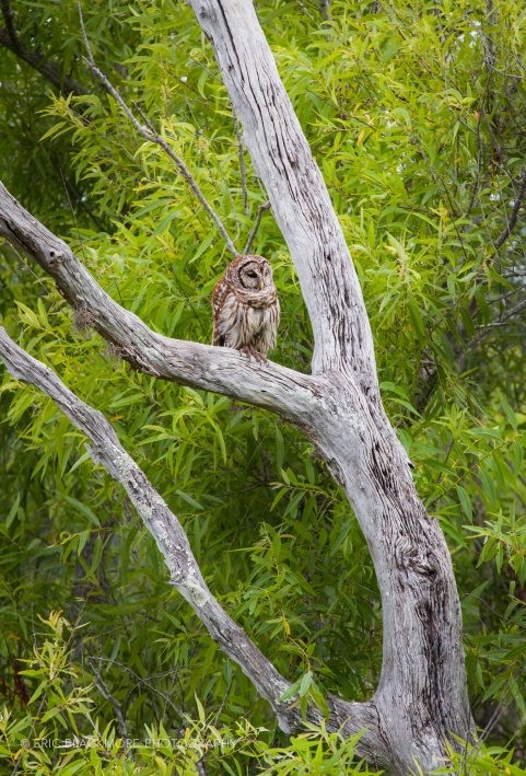 Barred Owl on Snag