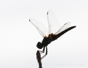 Dragon Fly on Reed