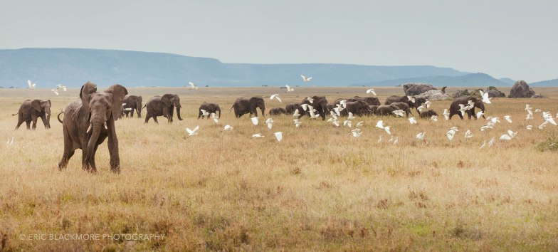 Elephant herd moving across the plains.