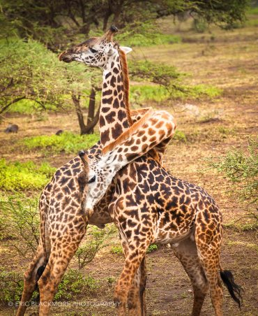 Giraffes necking and playing