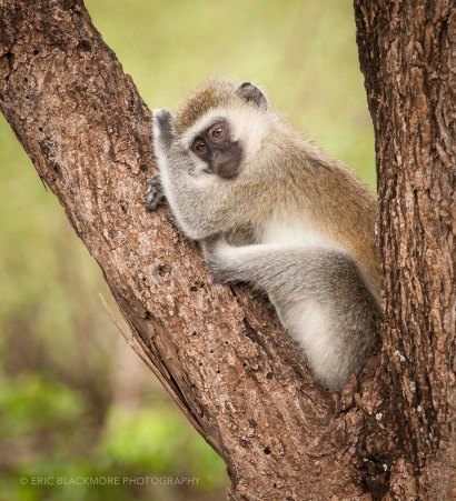 Vervet monkey juvenile