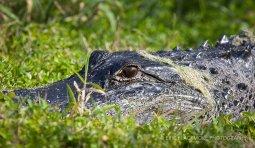 Alligator Sunning in the Grass