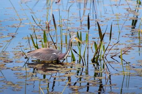Tri-colored Heron Fishing